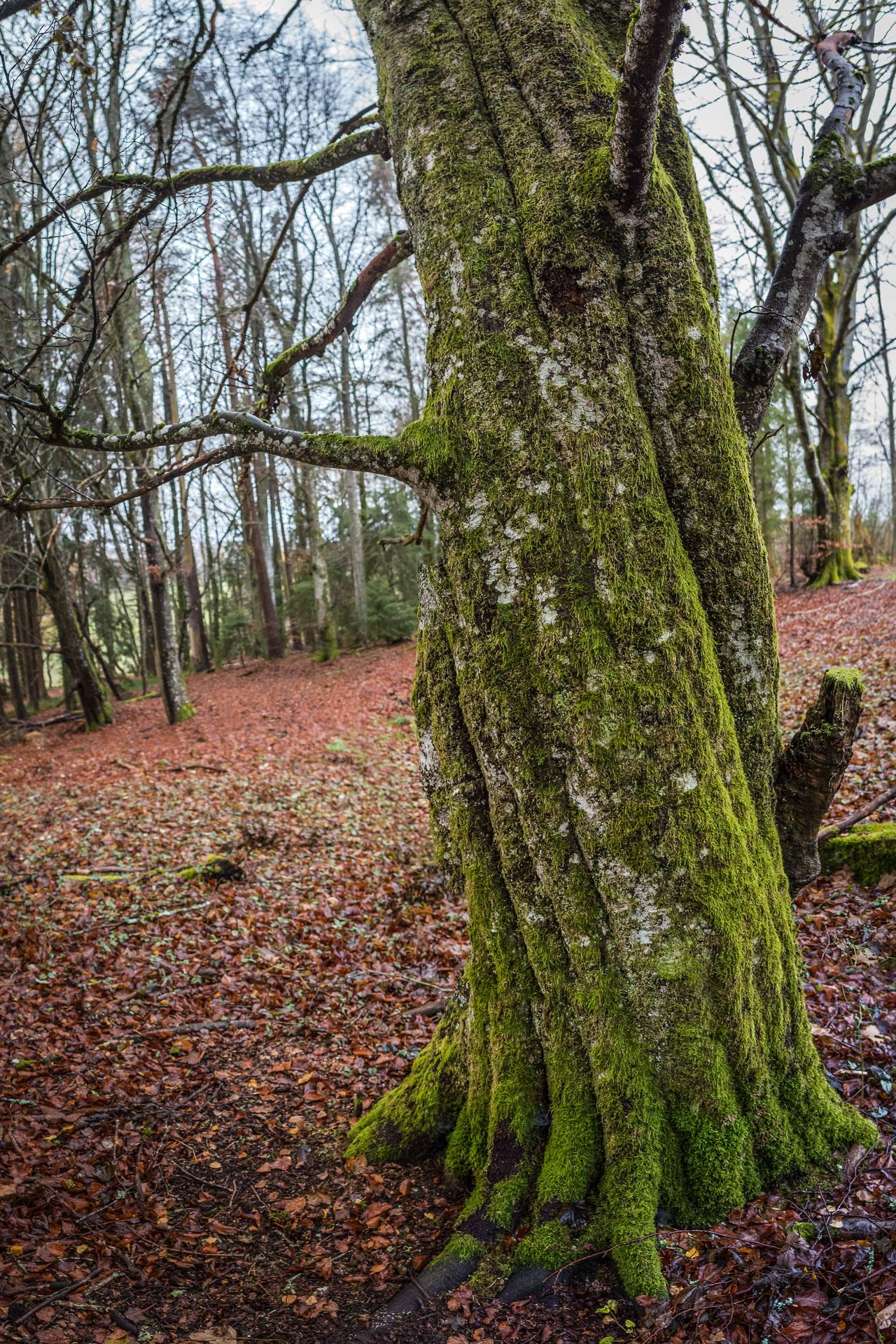 Corksrew-tree