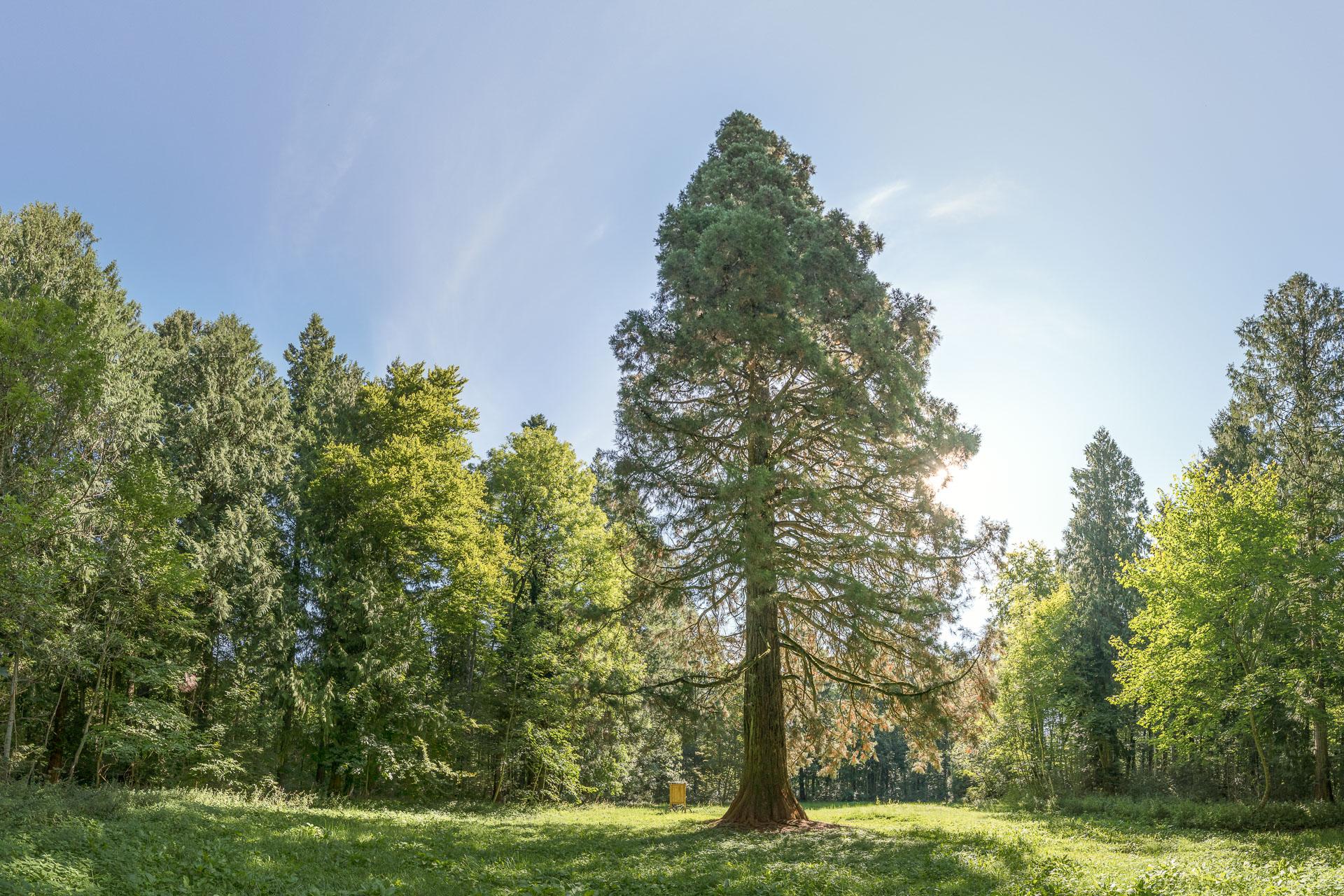 Riesenmammutbaum (Naturdenkmal)